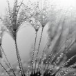 Dandelion — Photo #9577361