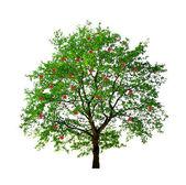 Apple tree isolated — Stock Photo