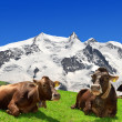 Cow lying on the meadow — Stock Photo