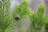 Pine branch with a cone — Stock Photo