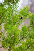 Pine branches with two cones — Stock Photo