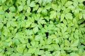 Green leaves pattern — Stock Photo