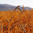 Ripen wheat ears in field — Stock Photo #9236757