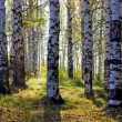 Birch grove with shadows by autumn — Stock Photo