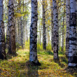 Birch grove with shadows by autumn — Stock Photo #9237238