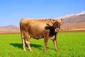 La vaca en el campo de los cultivos de invierno — Foto de Stock