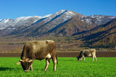 Cows feeding in the field — Stok fotoğraf