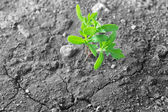 Green plant growing on dry soil — Stock Photo