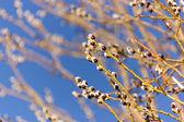 Zweige mit den knospen im frühjahr — Stockfoto