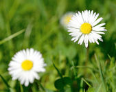 White daisy — Foto Stock