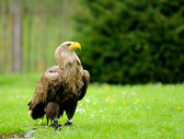 Golden Eagle in ZOO — Stock Photo