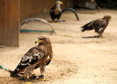 Eagles in ZOO — Stock Photo