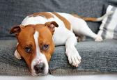 Leżącego psa — Zdjęcie stockowe
