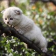 Scotish vouw kitten — Stockfoto