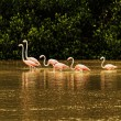 Red flamingos in bays of Celestun city - Stock Photo