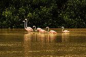 Red flamingos in bays of Celestun city — Stock Photo