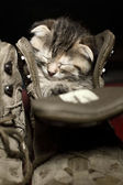 Adorable little kitten sleeping inside a shoe — Stock Photo