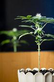 Marijuana plants standing in flower pots — Stock Photo