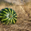 Stock Photo: Watermelon lying on dry grass
