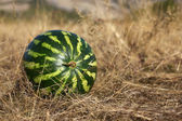 Watermelon lying on the dry grass — Stock Photo