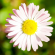 Closeup of a yellow and white Marguerite, Daisy flower on green — Stock Photo
