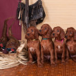 Four setters puppies and pheasants — Foto de Stock
