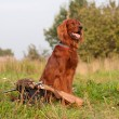 Irish setter with trophies — Stock Photo #7980187