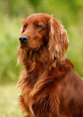 Setter's portrait — Stock Photo