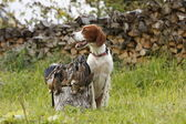 Irish setter with trophies — Stock Photo
