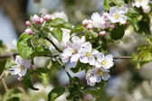 Flowers apple-tree — Stock Photo