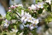 Flores Manzano — Foto de Stock