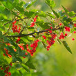 Branch with berries, a red currant — Stock Photo #8031664