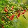 Branch with berries, a red currant — Stock Photo