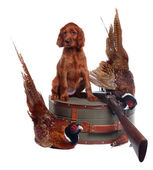 Setter puppy and two pheasants — Stock Photo