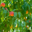 Branch with peaches — Stock Photo #8413663