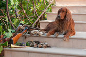 Bird dog and trophies — Stock Photo