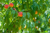 Branch with peaches — Stock Photo