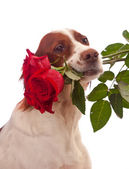Dog with three red roses in mouth — Stock Photo