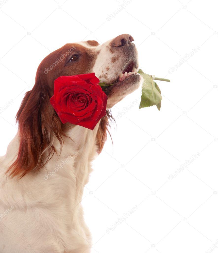 hond met rode roos in mond stockfoto 169 glenkar 8703107