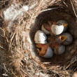 Stock Photo: Just hatched nestlings