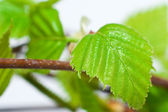 Leaf of birch tree — Stock Photo