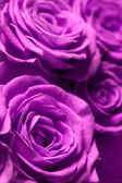 Roses roses — Photo