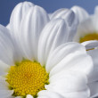 White chrysanthemum flowers - Stock Photo