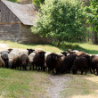 Sheeps on a country road — Stock Photo
