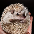 Hedge hog in hand — Stock Photo