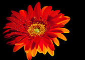 Orange gerber daisy 2 — Stock Photo