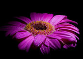 Purple gerber daisy — Stock Photo