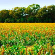 Field of crops under a blue sky — Stockfoto