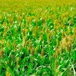 Stock Photo: Green crops