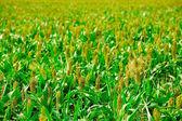 Coltivazioni erbacee — Foto Stock